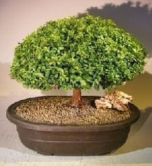 Japanese Kingsville Boxwood Bonsai Tree For Sale #3 (buxus microphylla compacta)