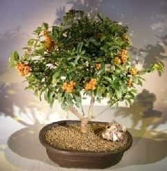 Flowering Pyracantha Bonsai Tree For Sale #1 (pyracantha 'mohave')