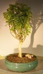Aralia Balfouriana Bonsai Tree For Sale #1 - Variegated ('balfouriana')