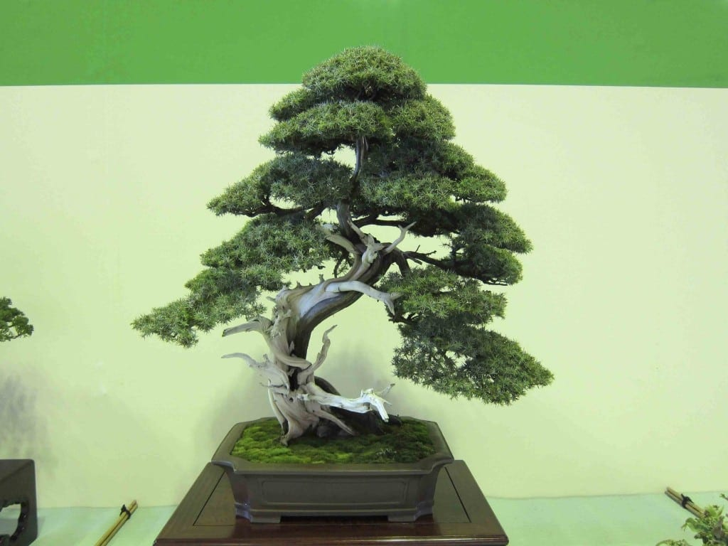 Juniper Bonsai Tree Care Guide Juniperus Chinensis Bonsai Tree Gardener