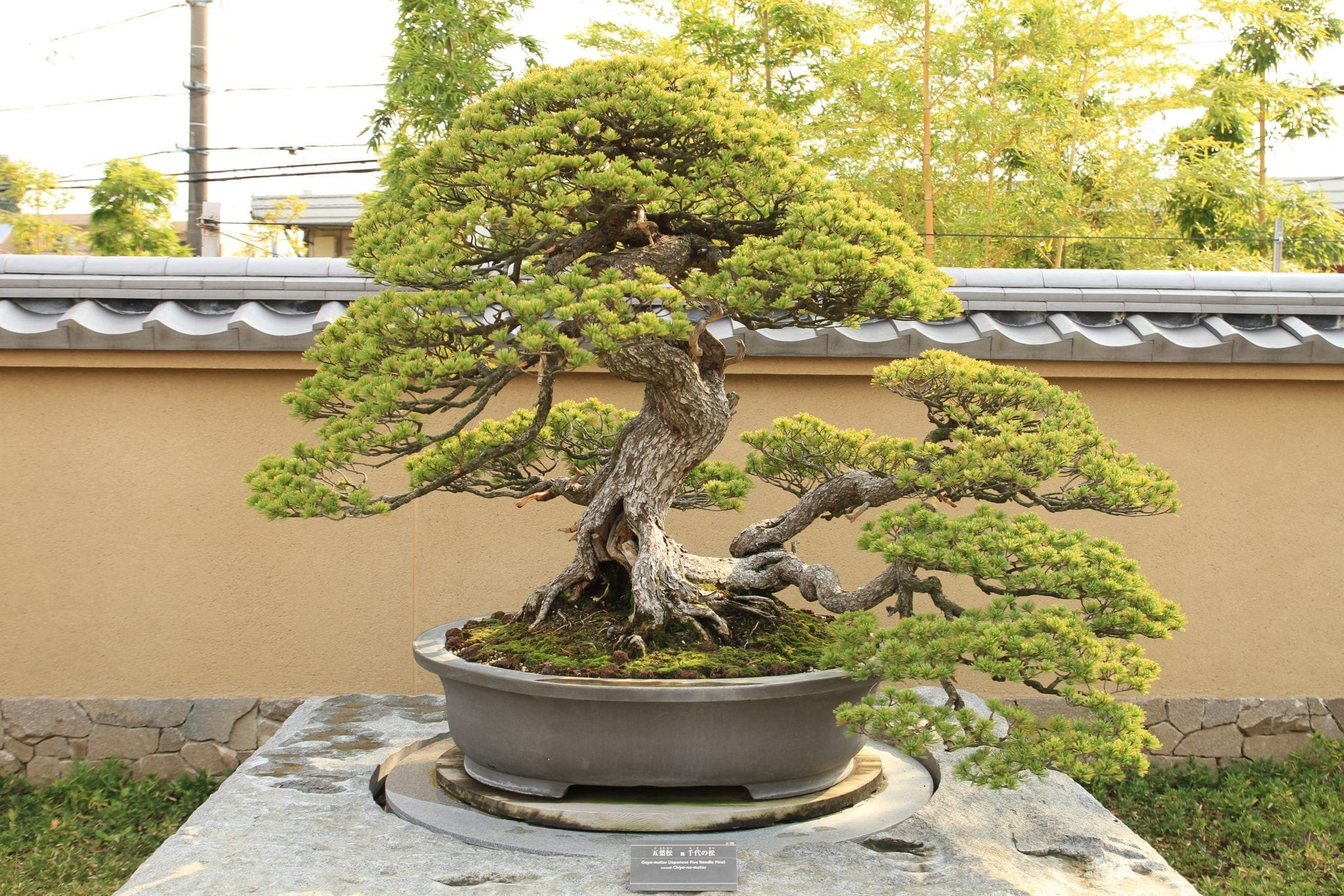 Outdoor Bonsai Tree Care