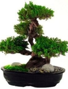 Monterey Bonsai Tree For Sale - 20 (Preserved - Not a living tree)