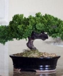 Monterey - Single Trunk-Preserved Bonsai Tree For Sale (Preserved - Not a living tree)