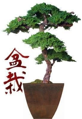 Monterey Preserved Bonsai Tree For Sale Kage Style - 6 Feet Tall (Preserved - Not a living tree)