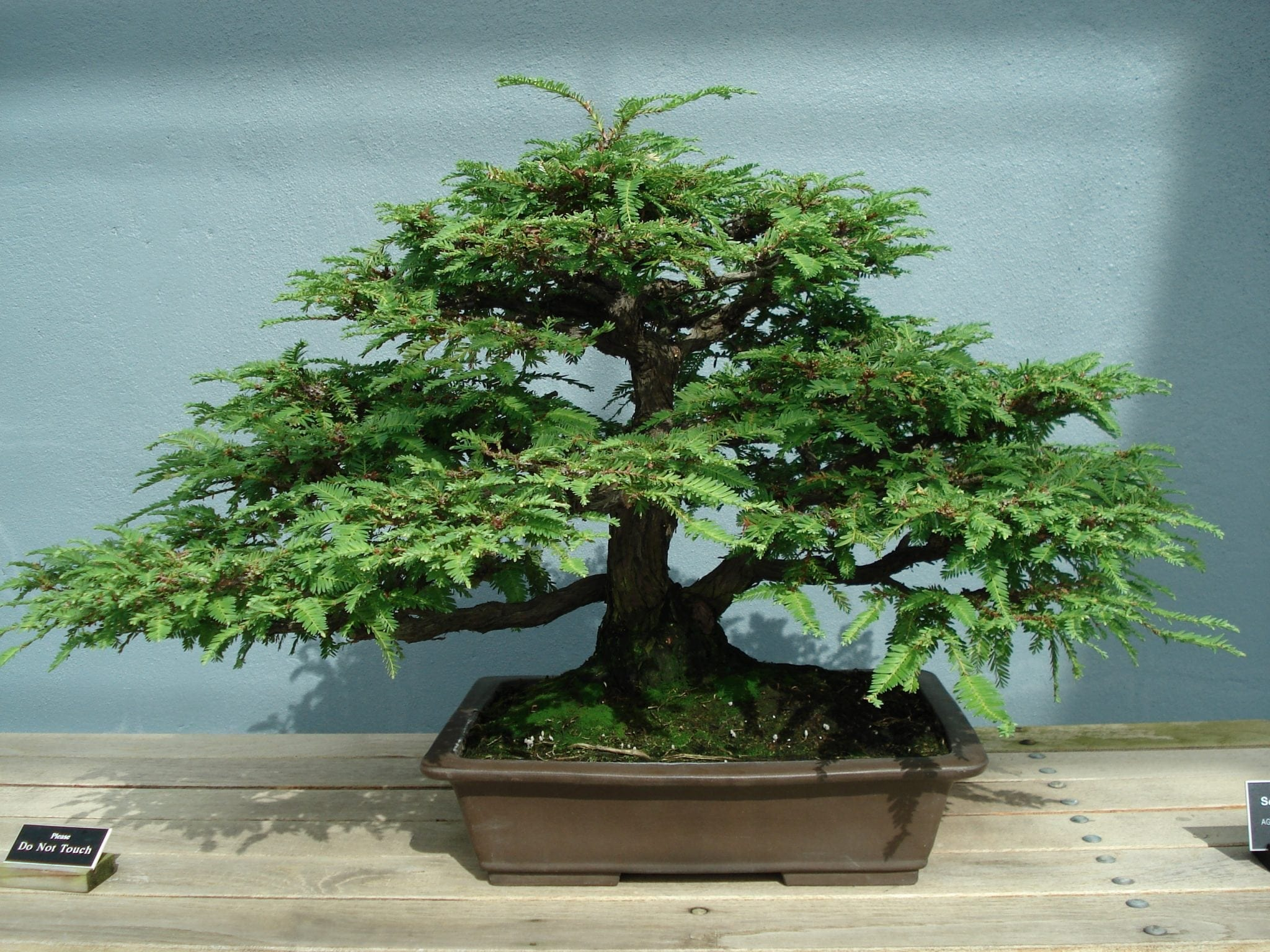 Redwood Bonsai Tree Care Guide Metasequoia Glyptostrobides Bonsai Tree Gardener