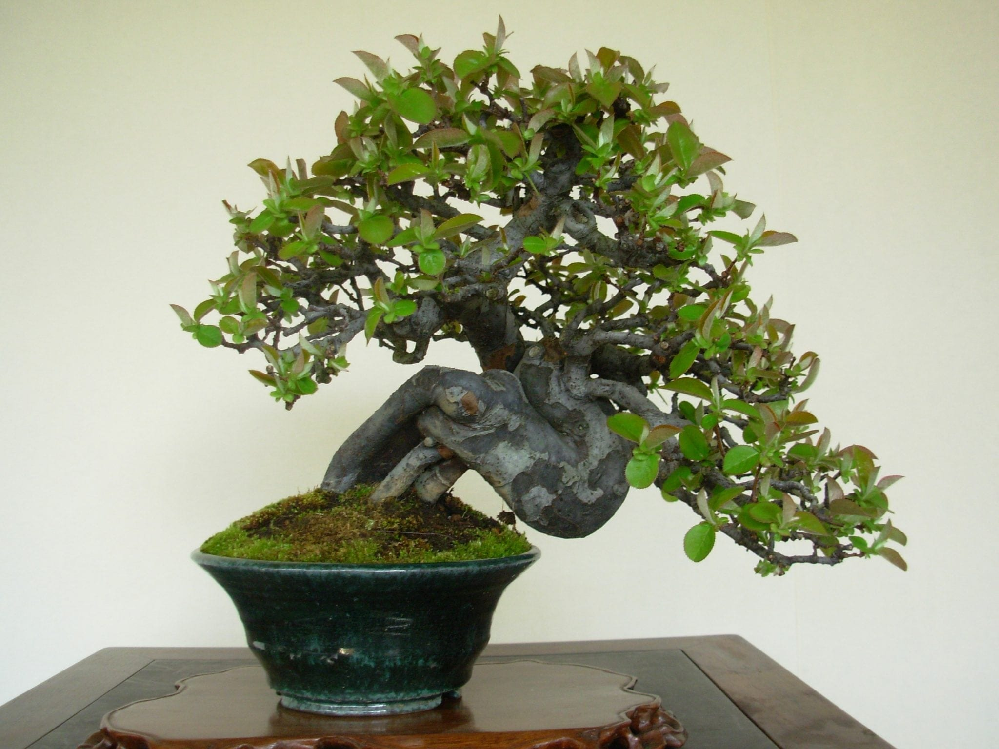 Shohin Bonsai Tree
