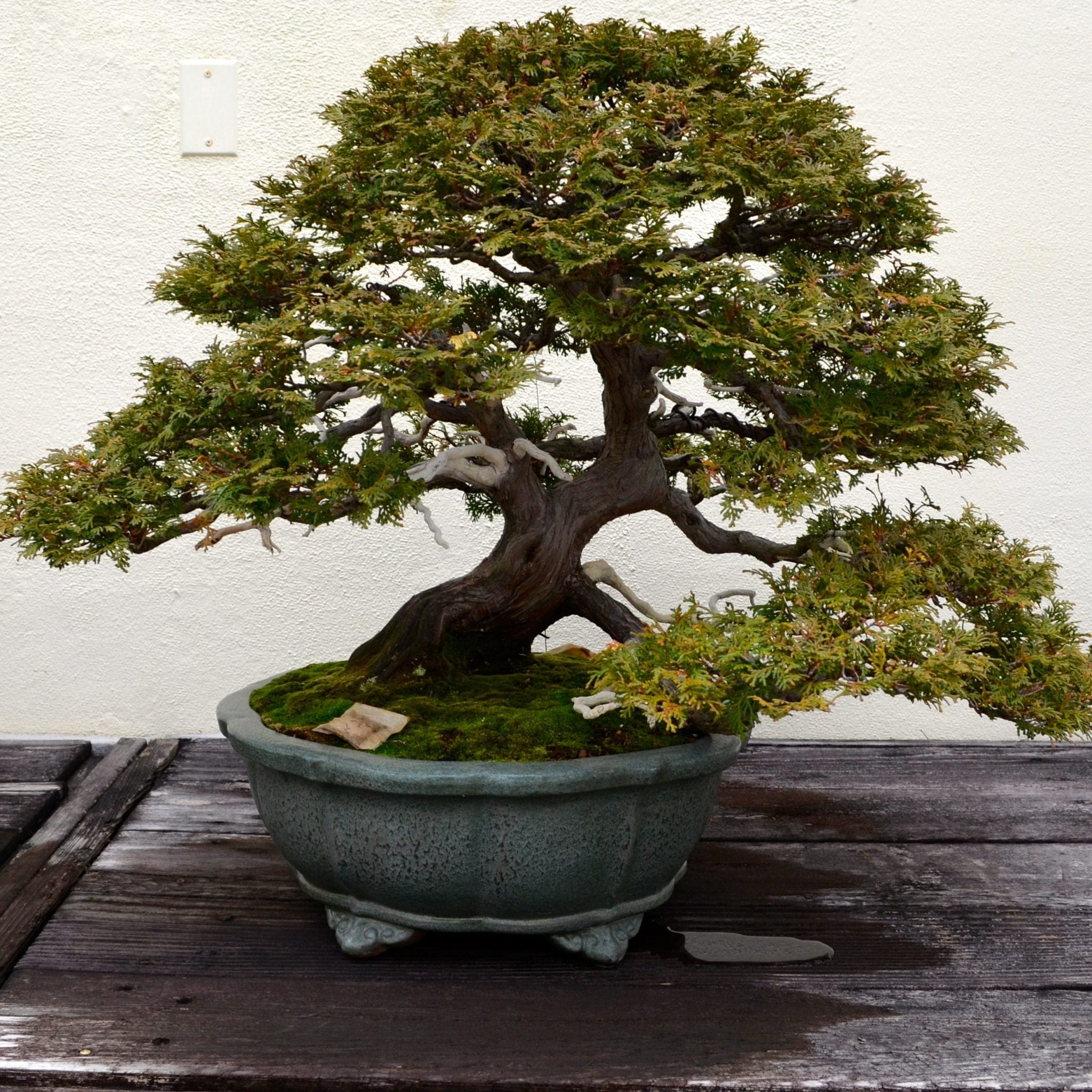 How To Grow Trained Bonsai Trees Bonsai Tree Gardener