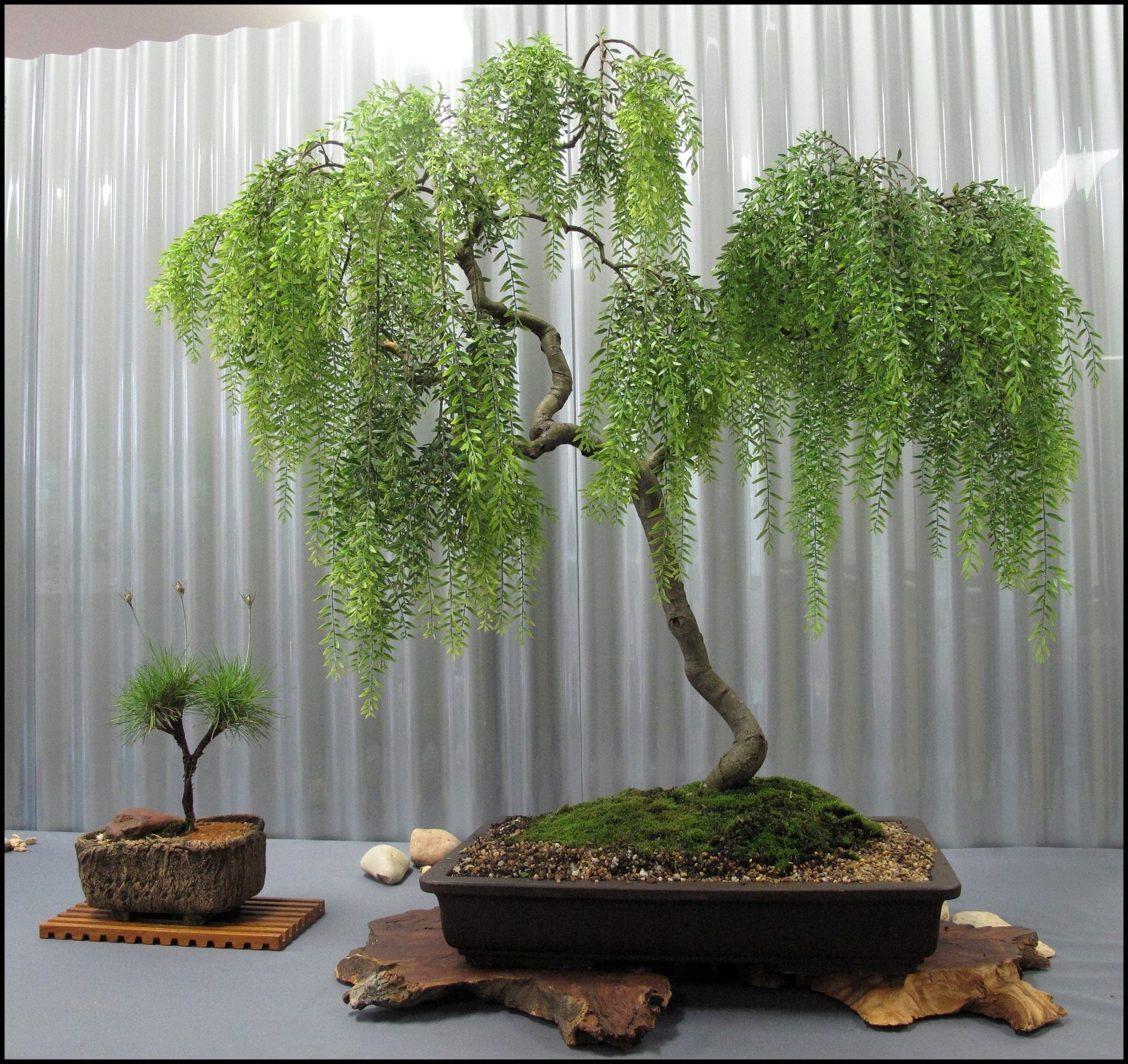 Weeping Willow Bonsai Tree