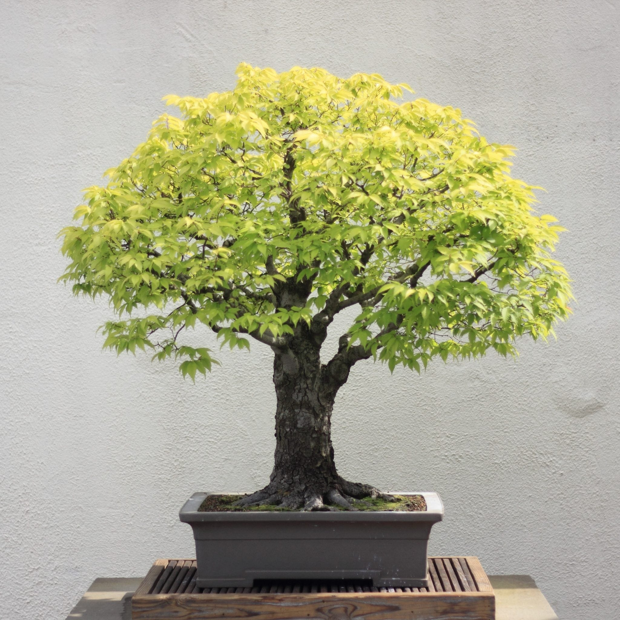 Japanese Elm Bonsai Tree Care Guide Zelkova Serrata Bonsai Tree Gardener