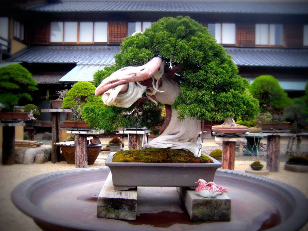 800-Year-Old Bonsai Tree at Shunkaen