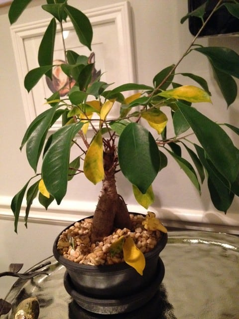 Bonsai Leaves Turning Yellow