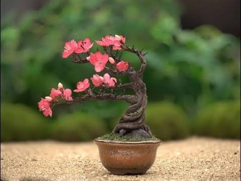 Cherry Blossom Bonsai Tree