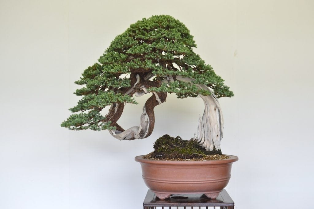 Coniferous Bonsai Trees Bonsai Tree Gardener