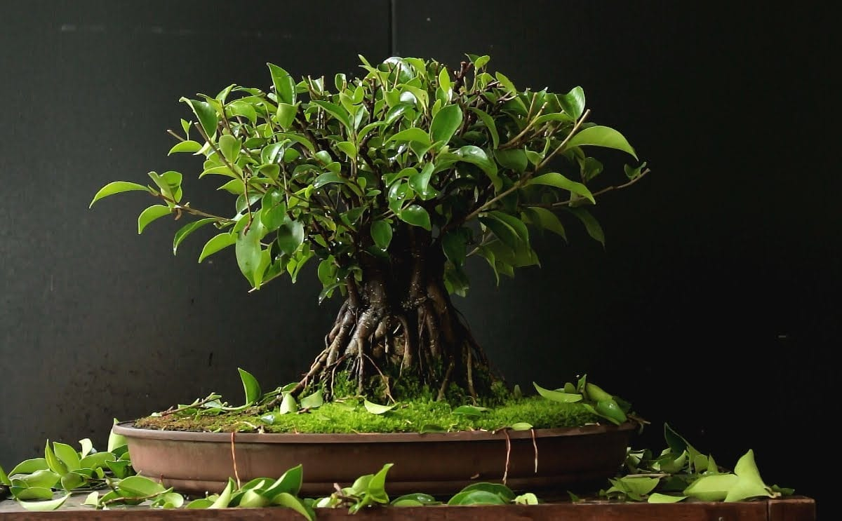 Ficus Retusa Microcarpa Bonsai