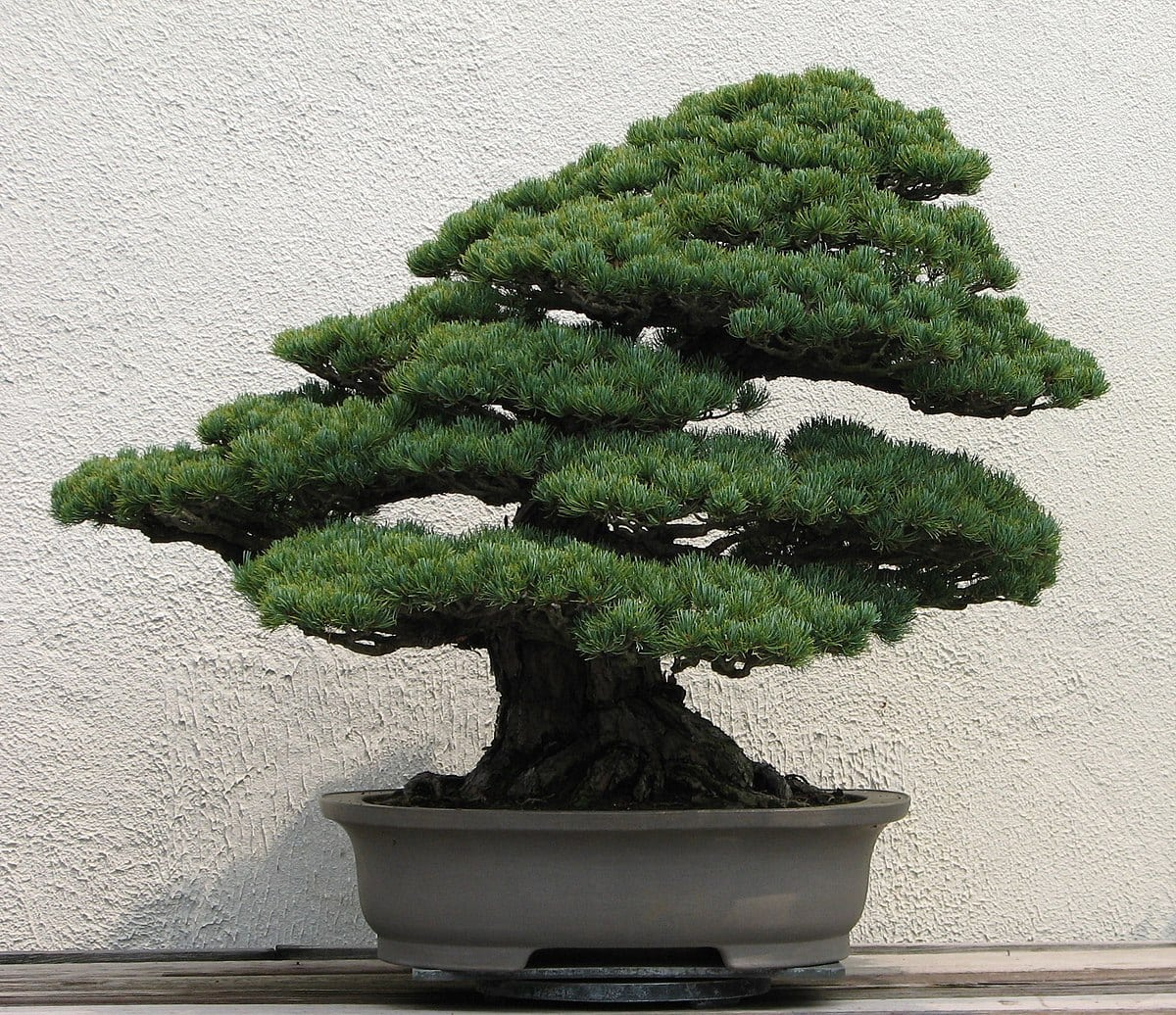 How To Make A Bonsai Tree Bonsai Tree Gardener
