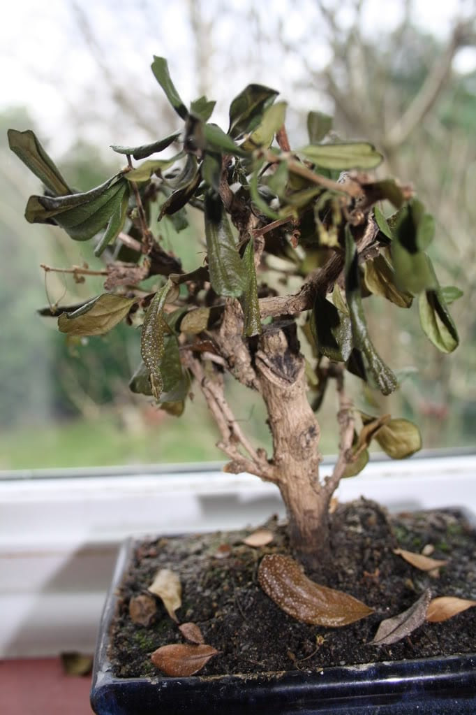 How To Rescue A Dying Bonsai Tree Bonsai Tree Gardener