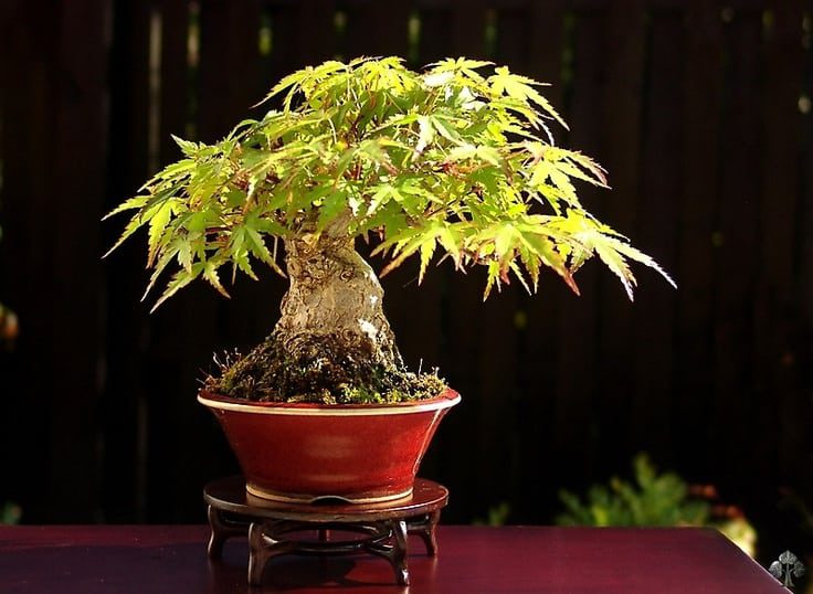 Small Bonsai Shohin Tree Morten Albek