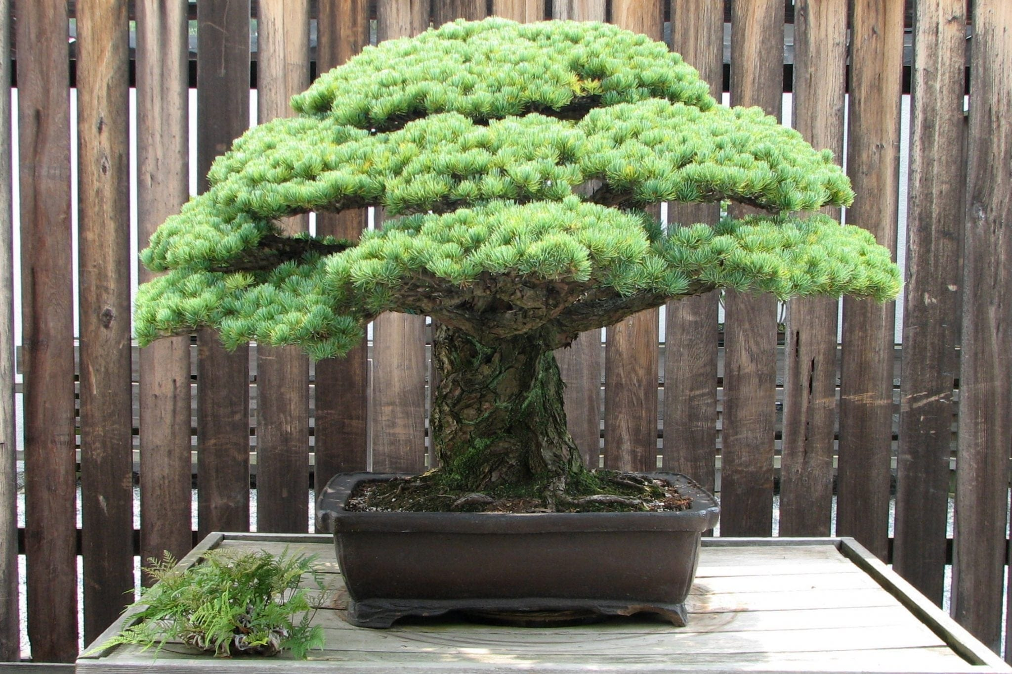 Yamaki Pine at the National Arboretum 2