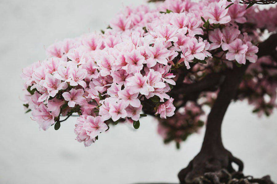 Bonsai Trees That Can Grow With Indoor Light Bonsai Tree Gardener