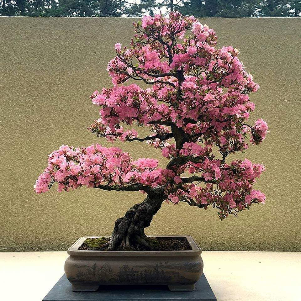 Bonsai To The World Promoting Japan Through Bonsai Bonsai Tree Gardener