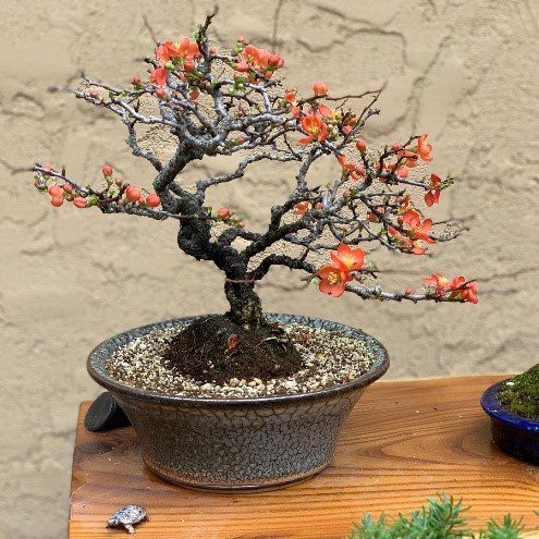 How To Revive Bonsai Tree With Leaves Falling Off Bonsai Tree Gardener