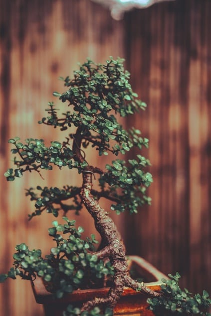 Influence Of Bonsai On Health And Well Being Bonsai Tree Gardener