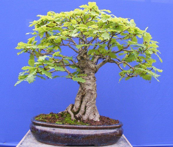 How To Bonsai An Oak Sapling Bonsai Tree Gardener