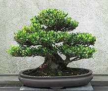How To Use Wire Cutters To Grow Bonsai Trees Bonsai Tree Gardener