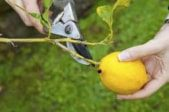 Pruning bonsai lemon tree